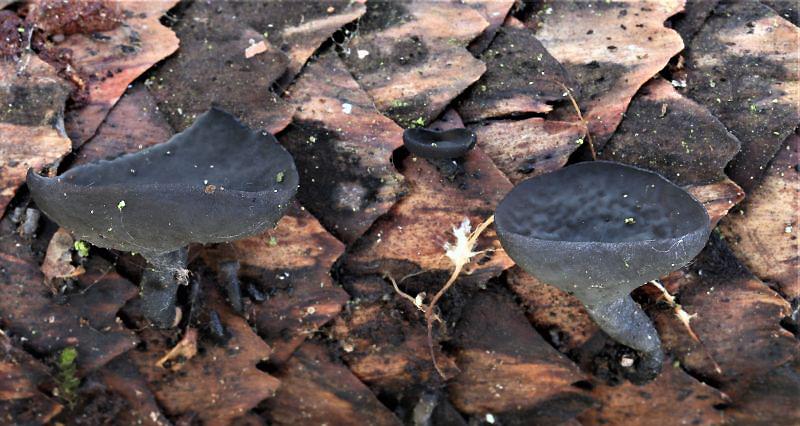 číšovka šišková – Piceomphale bulgarioides, Berounsko - foto: Oldřich Jindřich