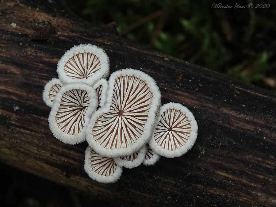 klanolístka obecná – Schizophyllum commune, Chebsko - foto: Miroslav Tauš