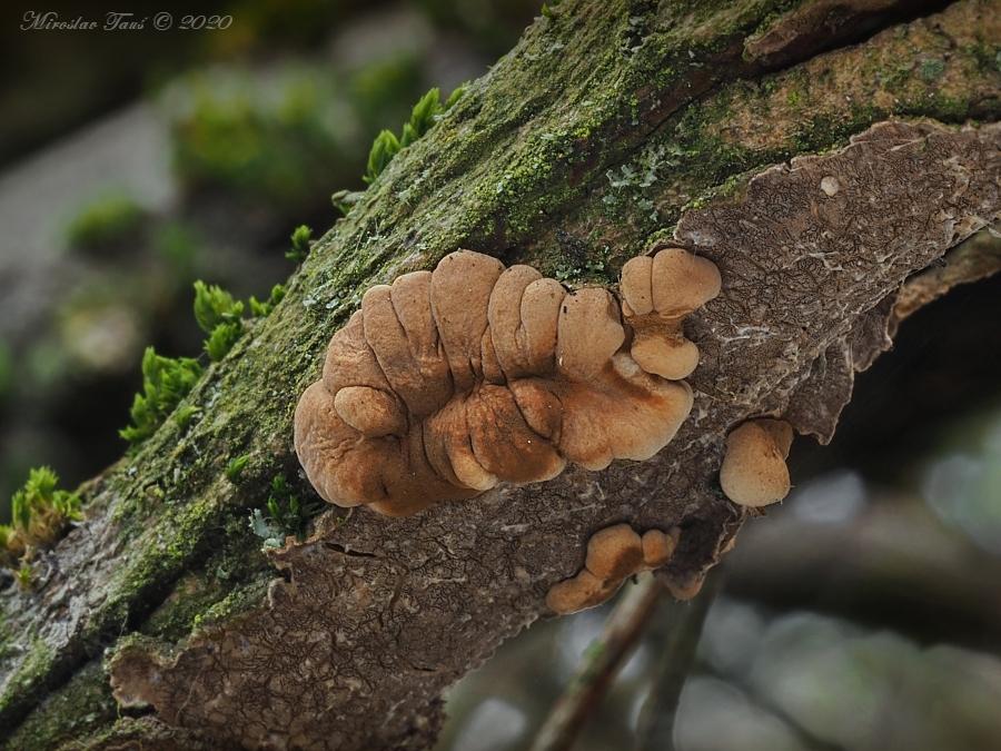 masenka lišejníková – Hypocreopsis lichenoides, Chebsko - foto: Miroslav Tauš