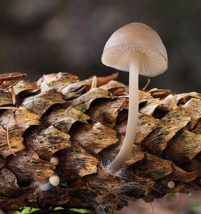 helmovka šiškomilná – Mycena strobilicola, Kladensko - foto: Martin Petrák