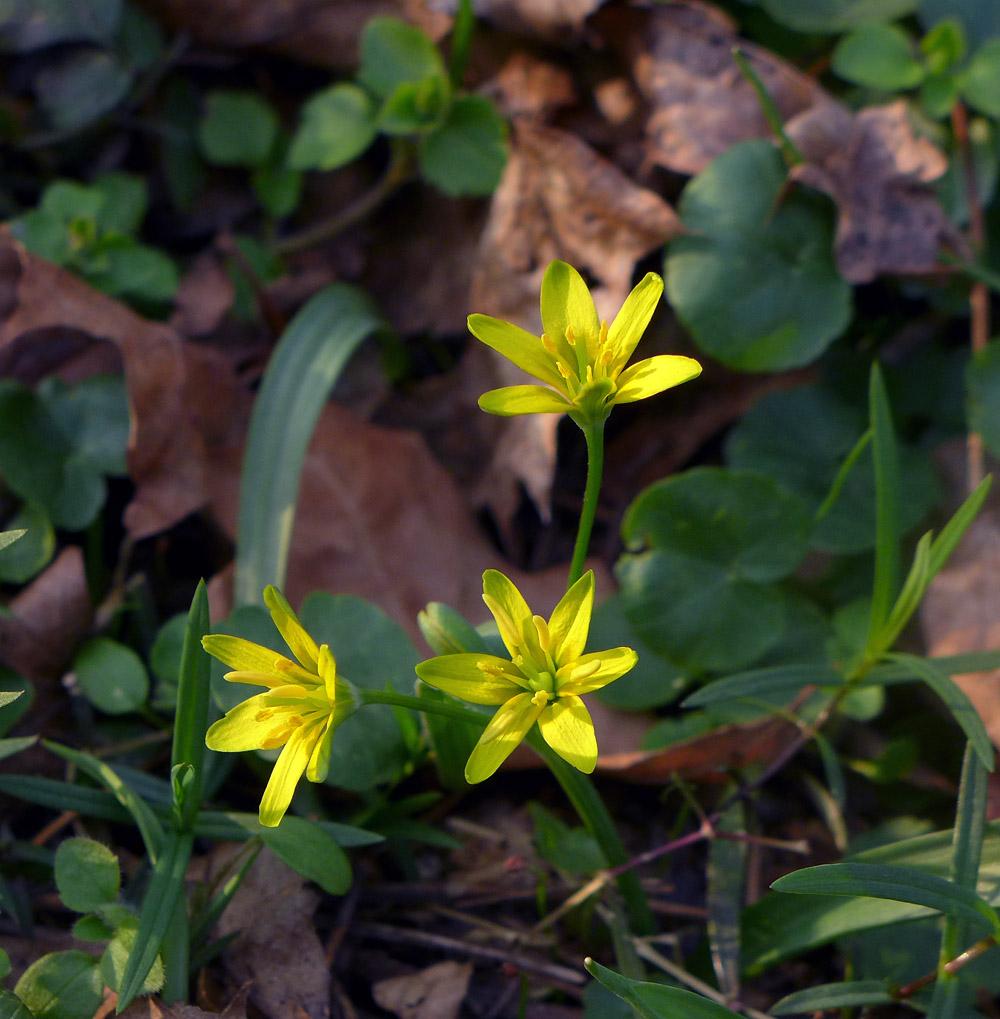 křivatec žlutý - Gagea lutea