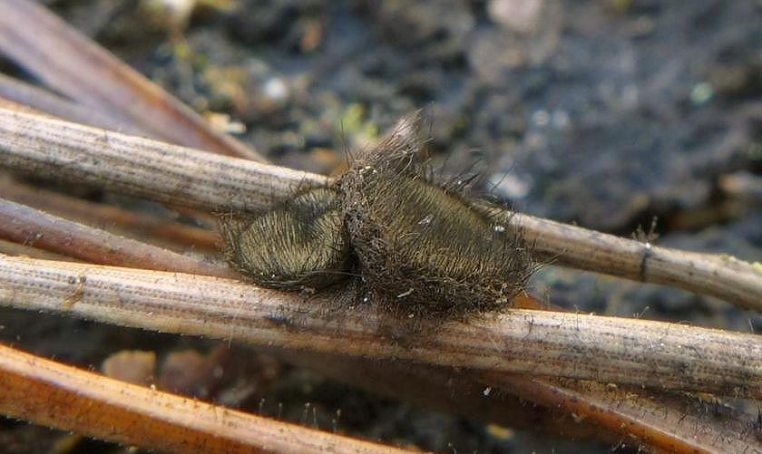 kosmatka borová – Desmazierella acicola - Uhlířské Janovice - foto: Petr Souček