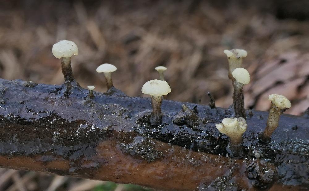 vodnička potoční – Cudoniella clavus - Slavkovský les - foto: Miloš Krčil