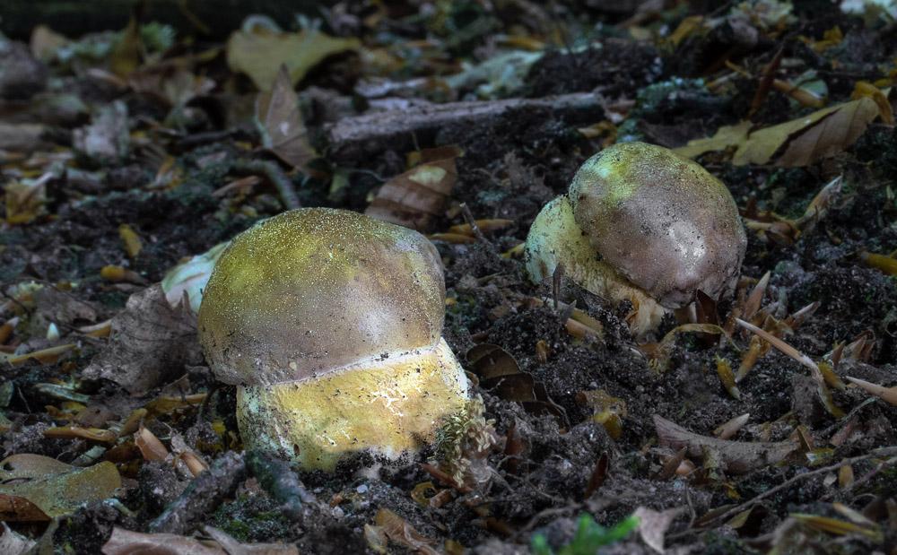 hřib borový – Boletus pinophilus - Salaš - foto: Alena Filípková