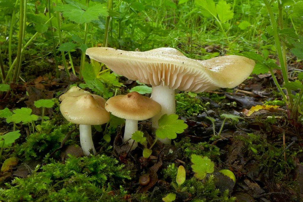 závojenka podtrnka – Entoloma clypeatum - Praha-Kolovraty - foto: Petr Souček