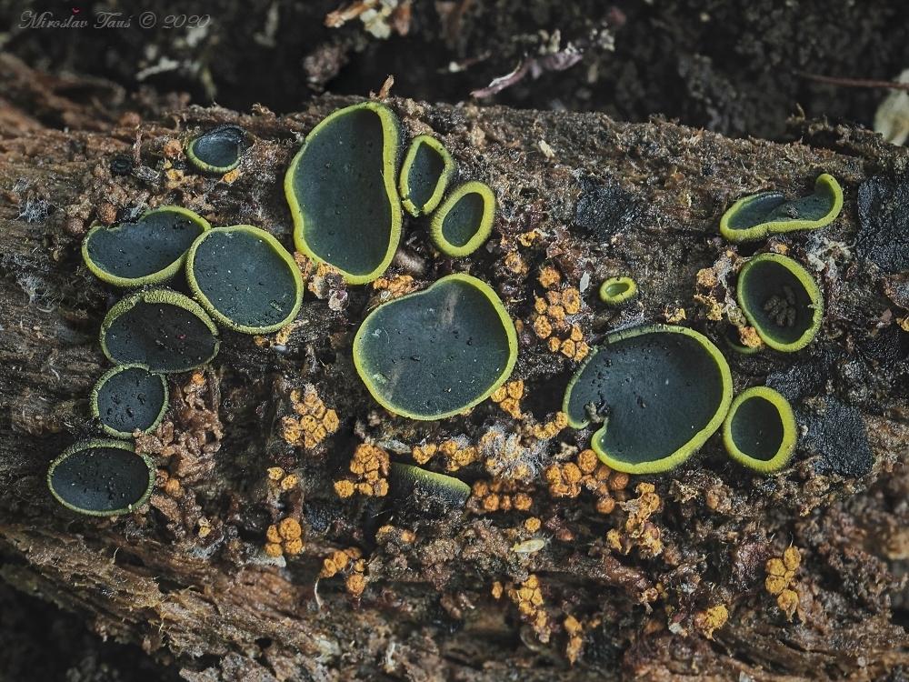 ploskovička olivová – Catinella olivacea - Chebsko - foto: Miroslav Tauš