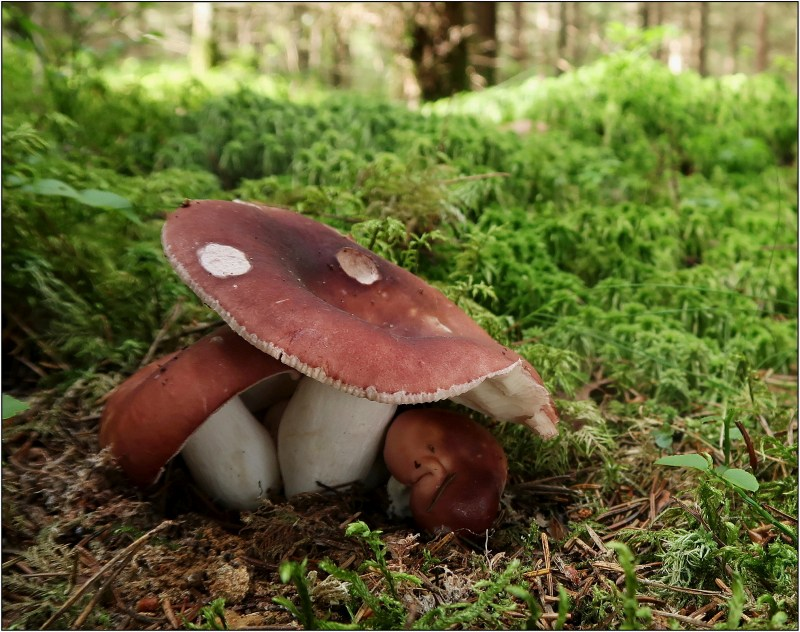 holubinka mandlová – Russula vesca - Českokrumlovsko - foto: Věra Hyráková
