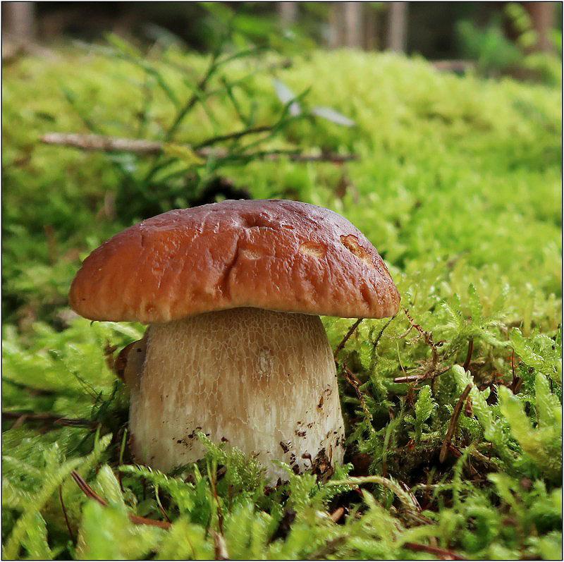 hřib smrkový – Boletus edulis - Českokrumlovsko - foto: Věra Hyráková