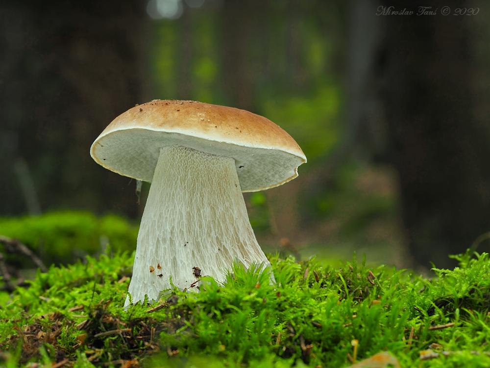 hřib smrkový – Boletus edulis - Chebsko - foto: Miroslav Tauš