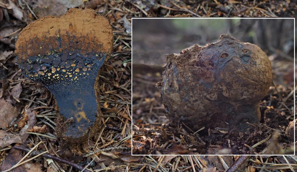 měcháč písečný – Pisolithus arhisus - Slavkovský les - foto: Miloš Krčil