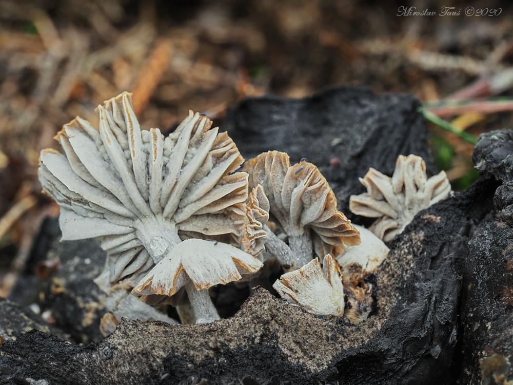 rovetka cizopasná – Asterophora parasitica - Chebsko - foto: Miroslav Tauš