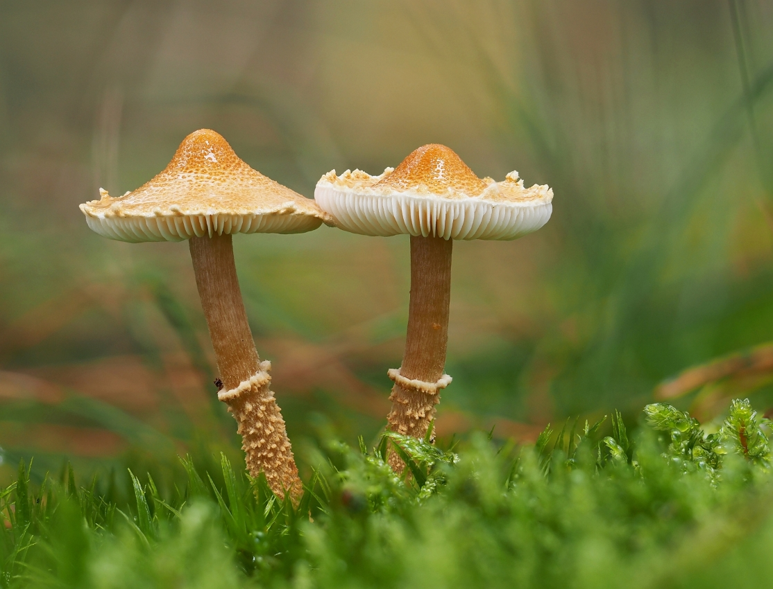 zrnivka osinková – Cystoderma amianthinum - Kladensko - foto: Martin Petrák