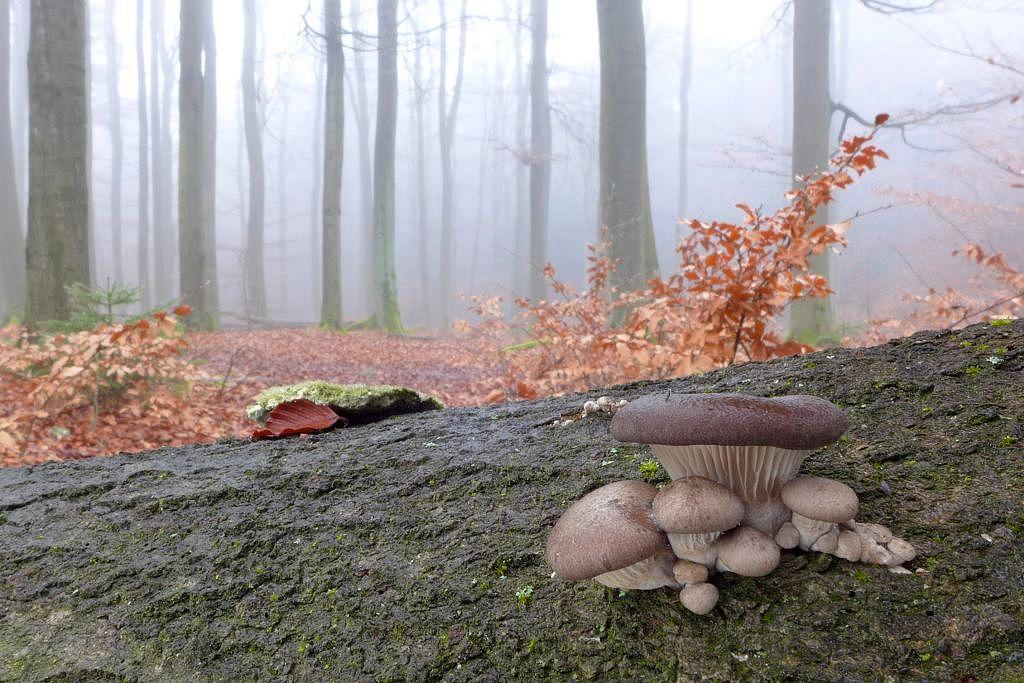 hlíva ústřičná – Pleurotus ostreatus - Voděradské bučiny - foto: Petr Souček
