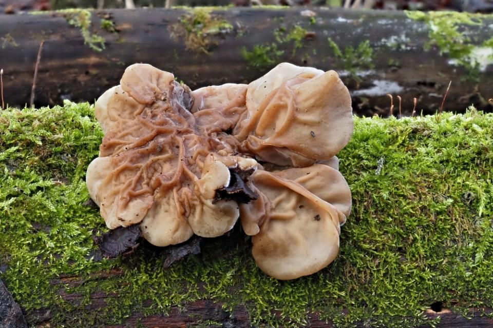 boltcovitka mozkovitá – Auricularia mesenterica - Hodonínsko - foto: Ladislav Špeta