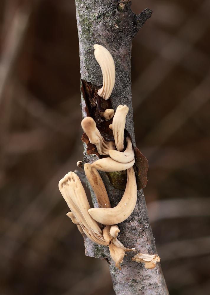 kyj zkroucený – Macrotyphula fistulosa var. contorta - Hlinecko - foto: Zdeněk Hromádko