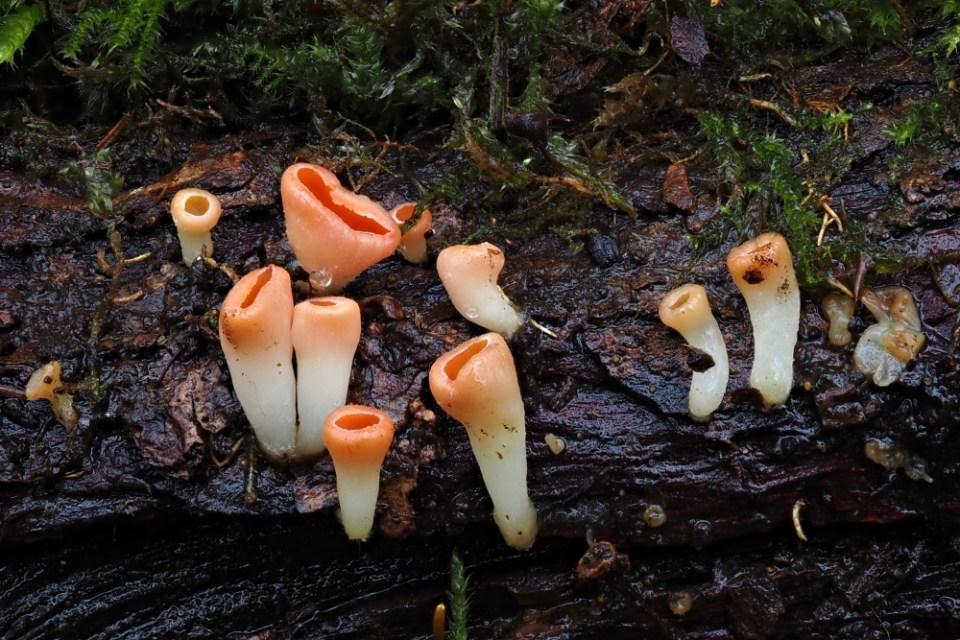 ohnivec rakouský – Sarcoscypha austriaca - Hodonínsko - foto: Ladislav Špeta