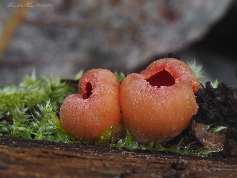 ohnivec rakouský – Sarcoscypha austriaca - Chebsko - foto: Miroslav Tauš