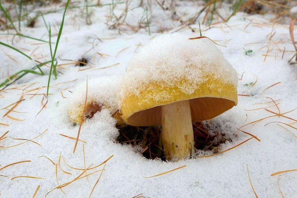 šťavnatka modřínová – Hygrophorus lucorum - Praha-Kolovraty - foto: Petr Souček