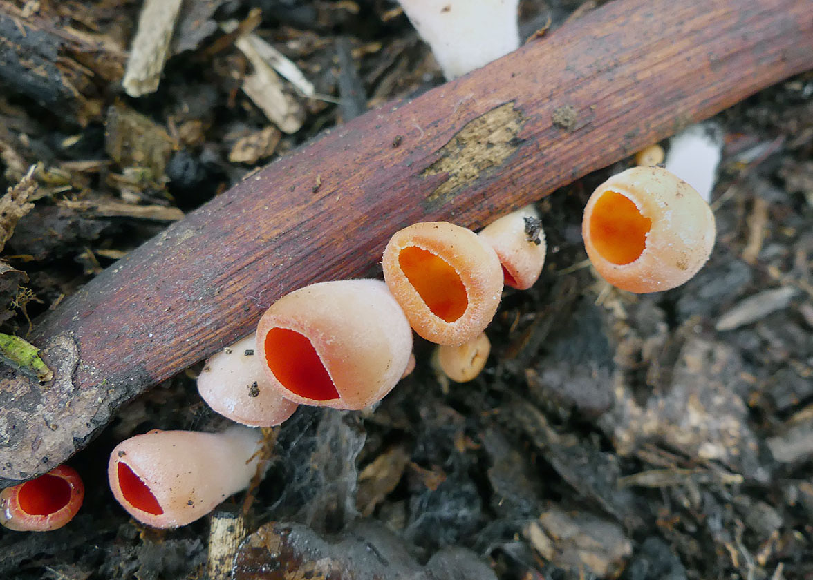ohnivec rakouský žlutý – Sarcoscypha austriaca var. lutea - Český kras - foto: Petr Mikuš
