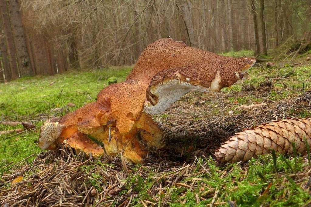 Krásnoporka kozí noha, foto: Petr Souček