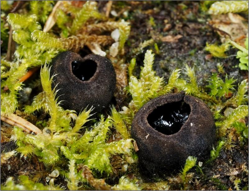 ušíčko černé – Pseudoplectania nigrella - Českokrumlovsko - foto: Věra Hyráková