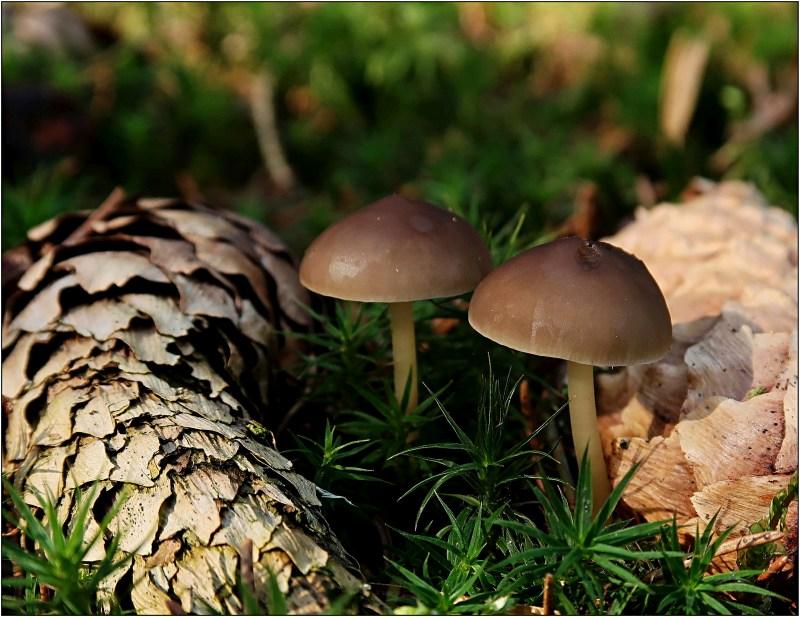 penízovka smrková – Strobilurus esculentus - Českokrumlovsko - foto: Věra Hyráková