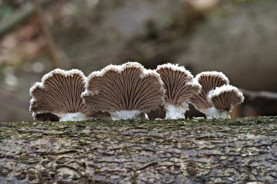 klanolístka obecná – Schizophyllum commune - Hodonínsko - foto: Ladislav Špeta
