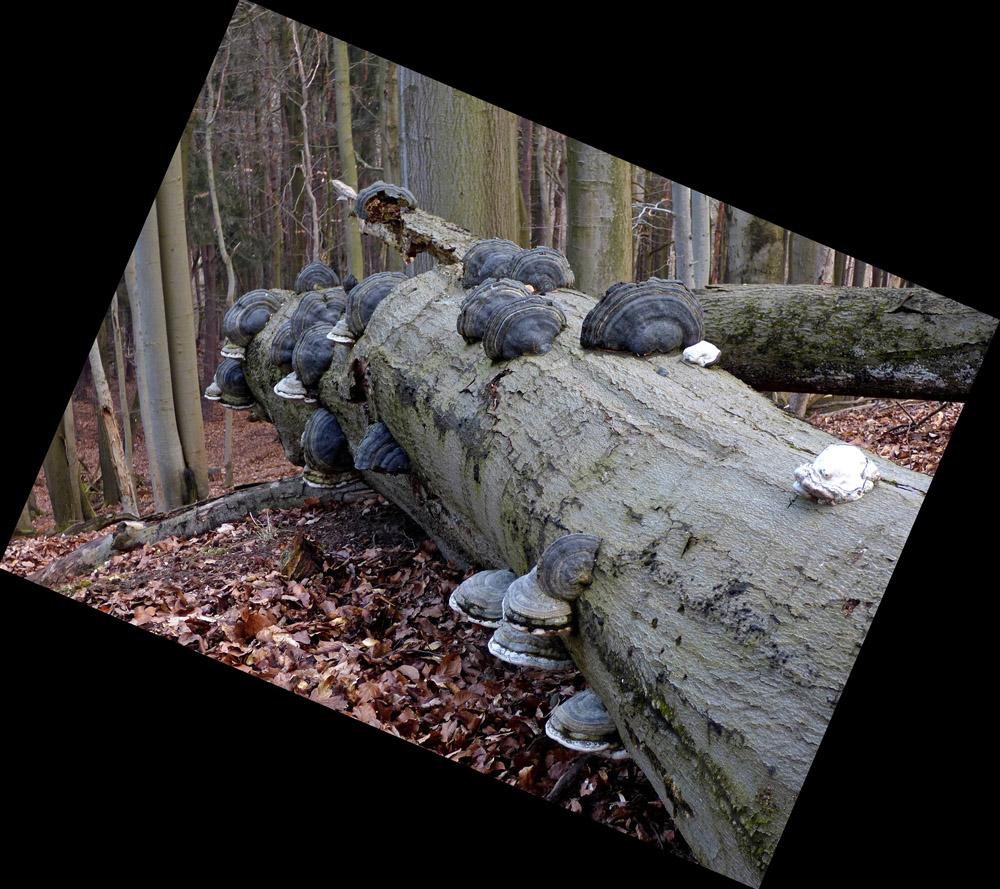 troudnatec kopytovitý – Fomes fomentarius - Ralsko - foto: Jiří Vondrouš