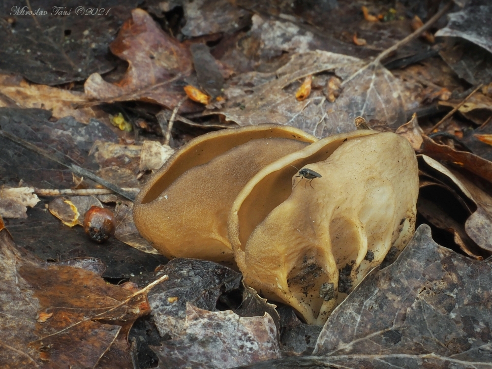 chřapáč obecný – Helvella acetabulum - Chebsko - foto: Miroslav Tauš