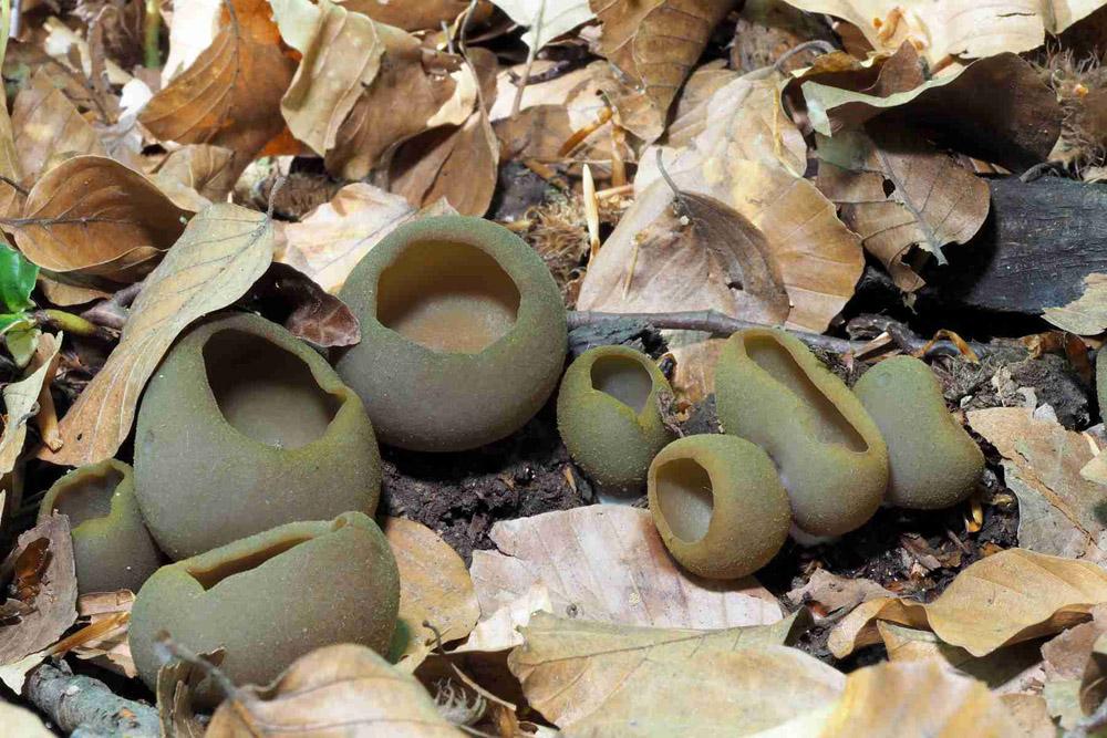 řasnatka hnědoolivová – Peziza phyllogena - Blanensko - foto: Jiřina Hrabáková