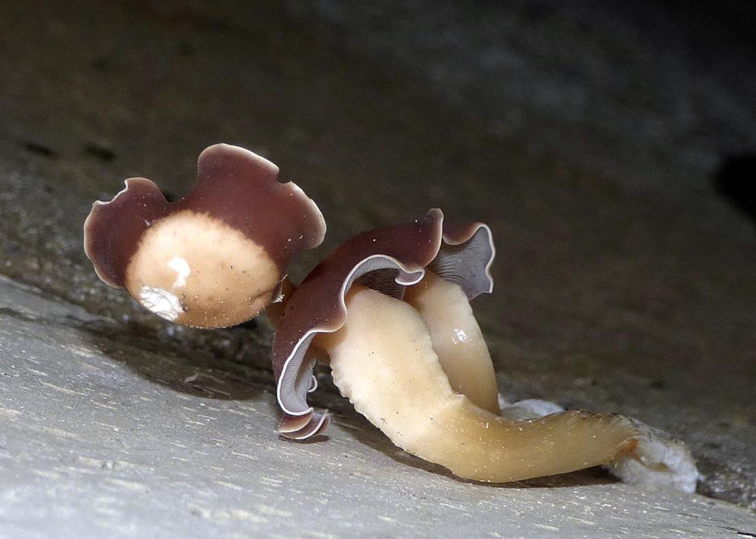 houby rostoucí vtemnotě zaklopené studny – druh se t.č. určuje - Čížkovice - foto: Jiří Vondrouš