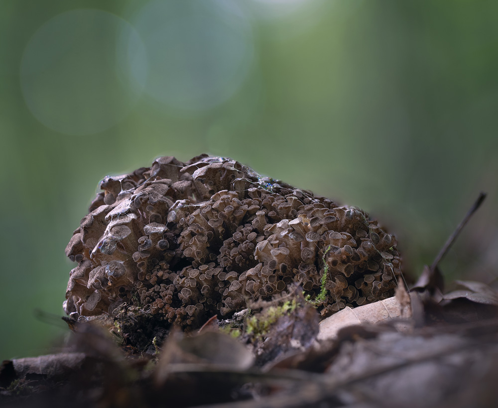 choroš oříš – Polyporus umbellatus - Buchlovicko - foto: Milan Němčický