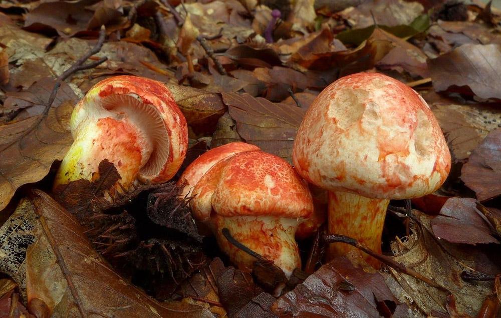 pavučinec červenolupenný – Cortinarius bolaris - Uhlířské Janovice - foto: Petr Souček