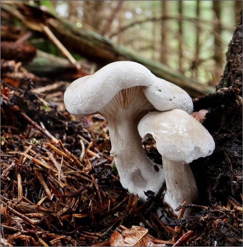 mechovka obecná – Clitopilus prunulus - Českokrumlovsko - foto: Věra Hyráková