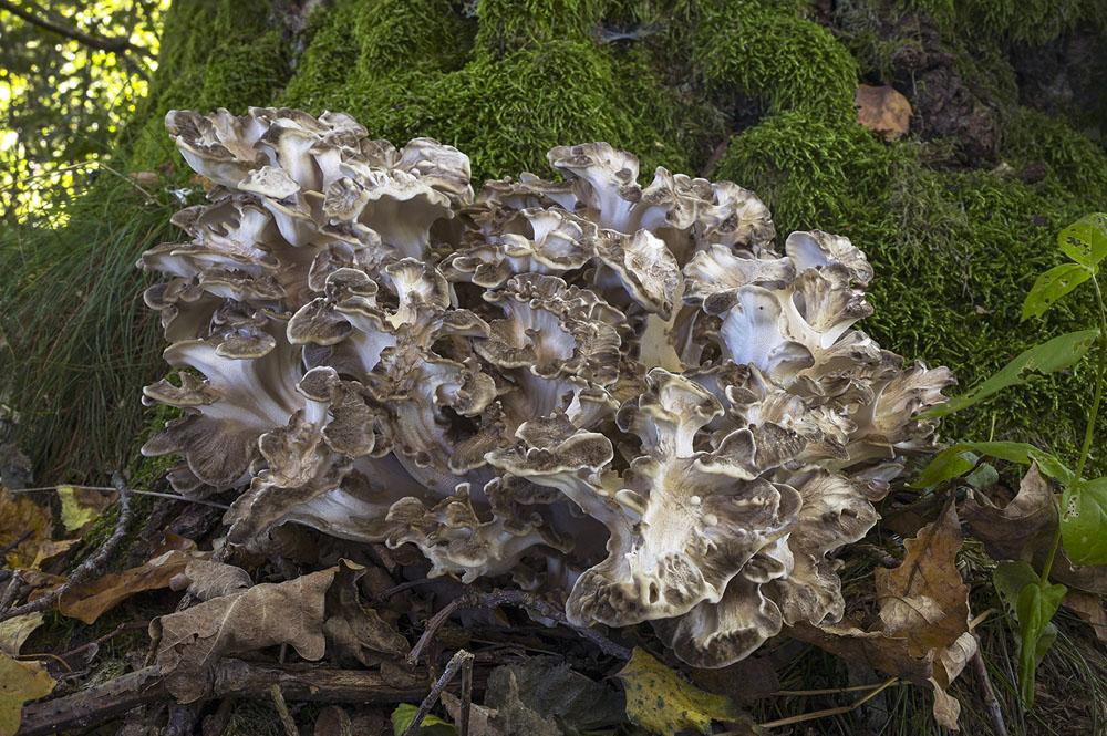 trsnatec lupenitý – Grifola frondosa - Českobudějovicko - foto: Vladimír Pravda