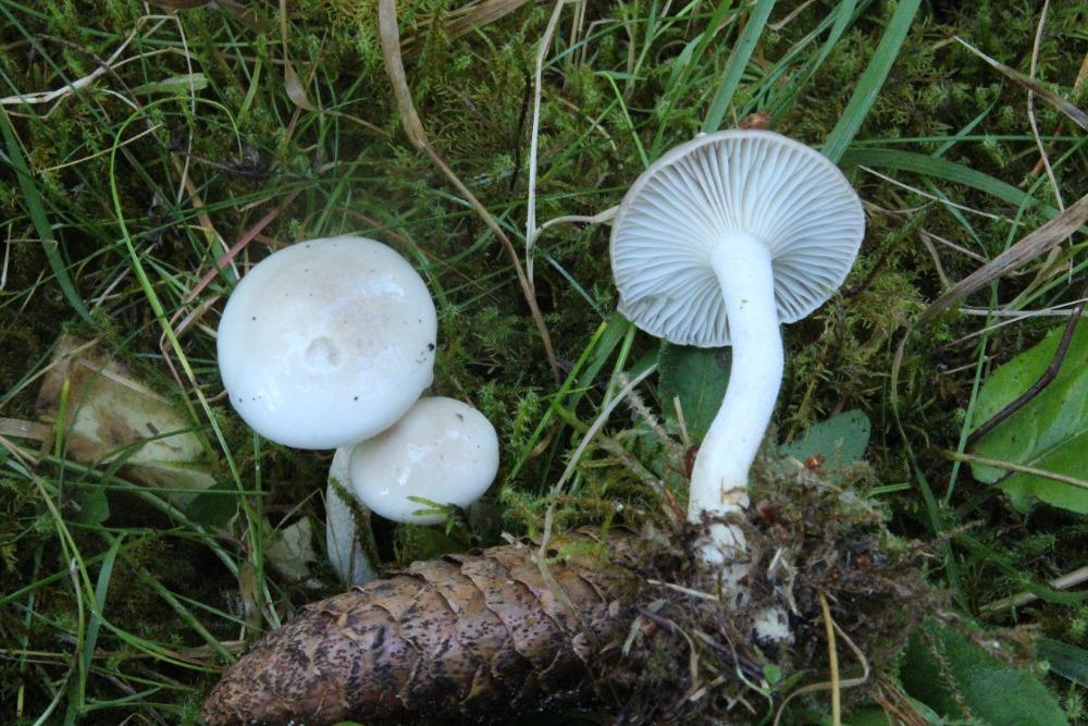 šťavnatka smrková – Hygrophorus piceae - Prášilsko - foto: Zdeněk Hájek