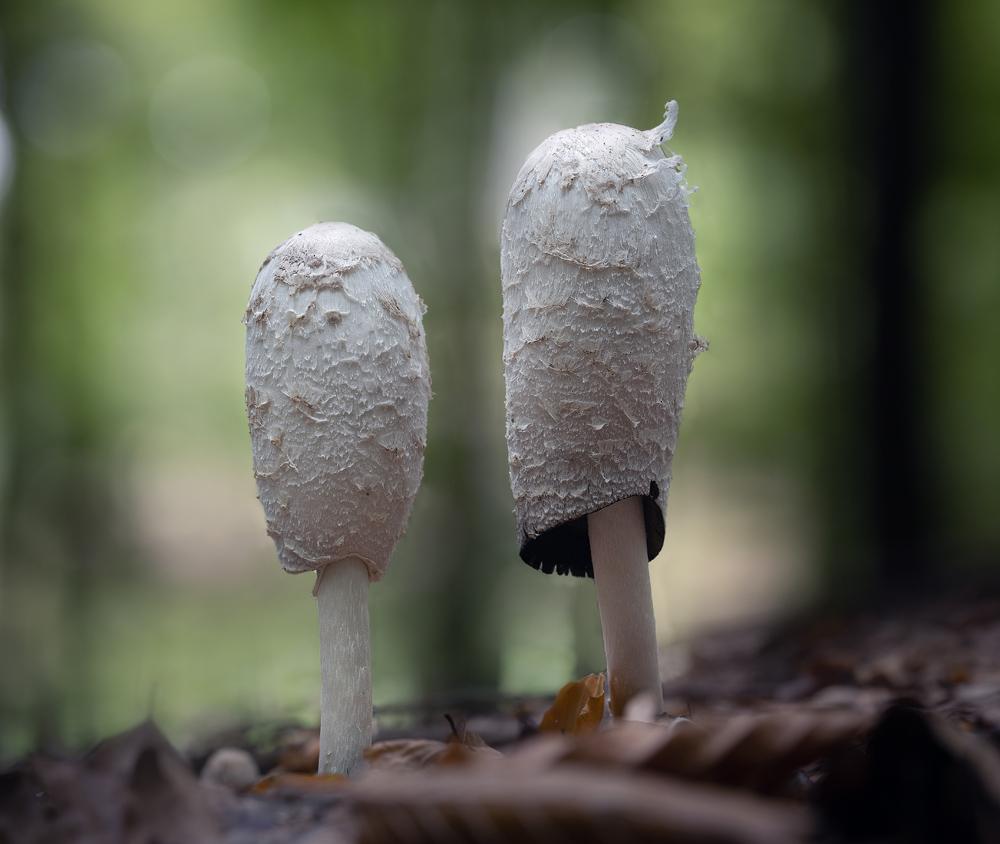hnojník obecný – Coprinus comatus - Salaš - foto: Milan Němčický