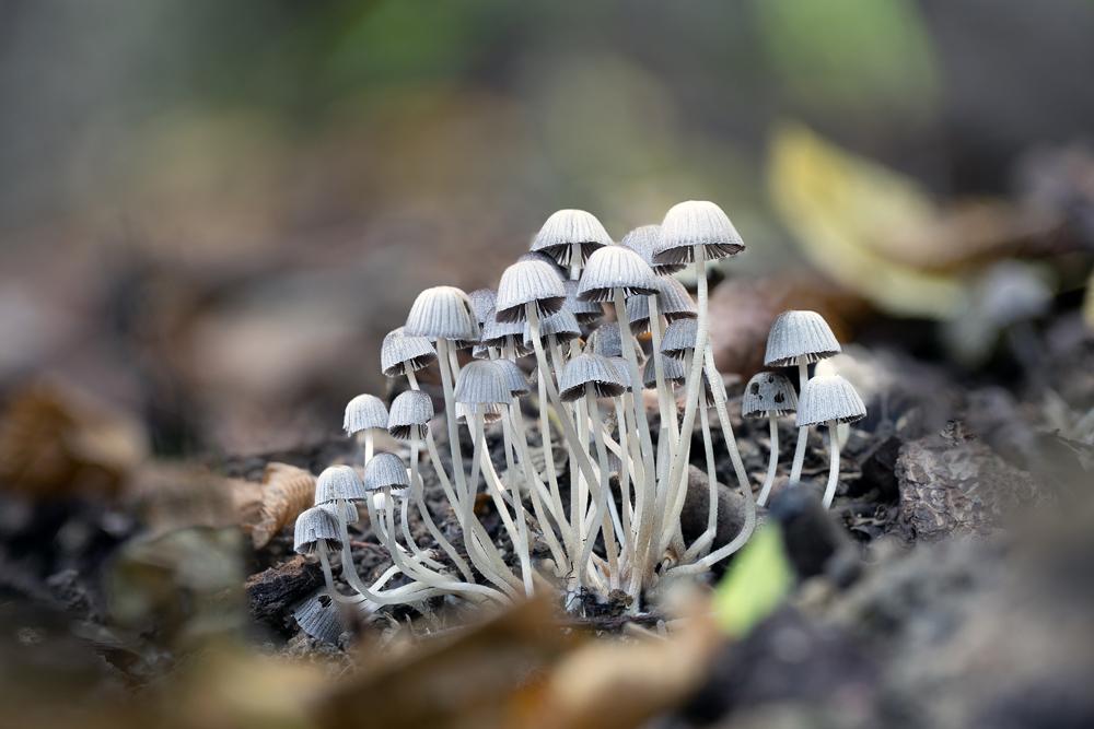 hnojník nasetý – Coprinellus disseminatus - Buchlovicko - foto: Milan Němčický