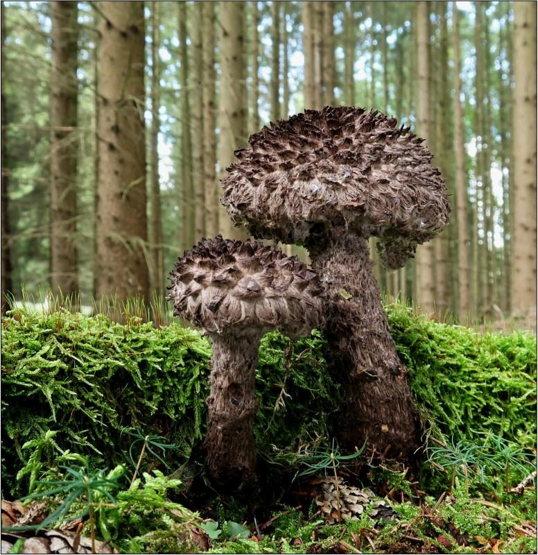 šiškovec černý – Strobilomyces floccopus - Českokrumlovsko - foto: Věra Hyráková